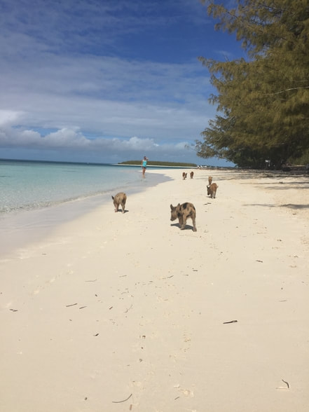 Native pigs off coast in the Bahamas